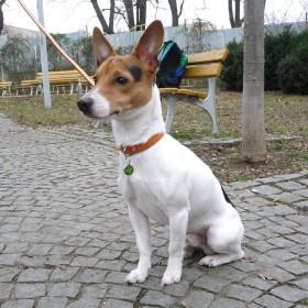 Známka pro psy se jménem - Red Dingo čtyřlístek